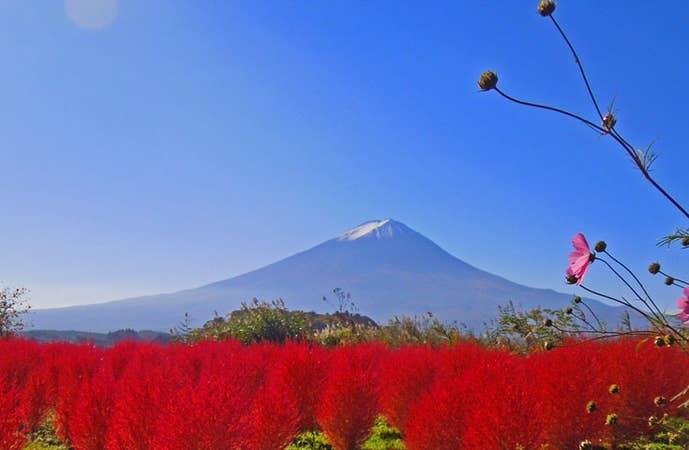 [新宿発]富士山&河口湖の絶景紅葉ドライブ!富士山奥庭と雲上の五合目散策やふわふわコキア鑑賞、季節のフルーツパフェ作り体験&ぶどう狩り等盛りだくさん♪