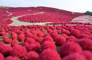 [新宿発]秋のふわもこコキア鑑賞と茨城の人気「おさかな市場」&めんたいパーク大洗へ!毎年大人気の日帰りバスツアー!